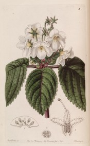 Figured are ovate, toothed leaves and slender axillary stems bearing two to several white flowers. Botanical Register f.5, 1842.