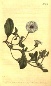 The illustration shows a recumbent plant with ovate leaves and pale blue flowers.  Curtis's Botanical Magazine t.731, 1804.