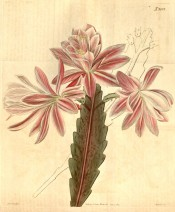 Figured is a spineless cactus with strap-shaped, scalloped stems and pink flowers  Curtis's Botanical Magazine t.2092, 1819.