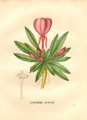 The image depicts roots, toothed leaves and pink flowers.  Saint-Hilaire pl.263, 1830.