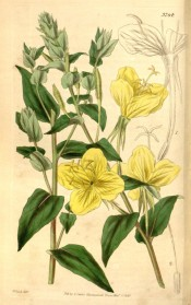 Depicted are shoots with lance-shaped leaves and pale yellow cup-shaped flowers.  Curtis's Botanical Magazine t.3764, 1839.