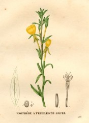 Figured are the lance-shaped leaves and bright yellow, cup-shaped flowers.  Saint-Hilaire pl.258, 1830.