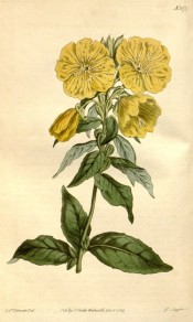 Figured are bright green ovate leaves and shallow cup-shaped yellow flowers.  Curtis's Botanical Magazine t.1674, 1814.