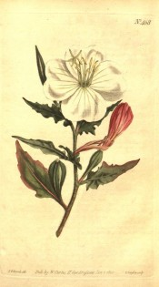 Figured are somewhat pinnatifid leaves and white saucer-shaped flowers, fading to red.  Curtis's Botanical Magazine t.468, 1800.