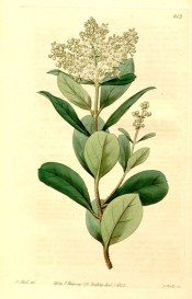 Figured are glossy ovate leaves and terminal panicle of small white flowers.  Botanical Register f.613, 1822.