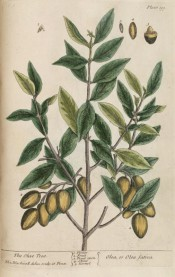 Figured are the elliptic leaves and bunches of green ovoid fruit.  Blackwell pl.199, 1737.