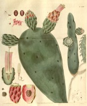 Shown are the flattened stems, flowers and fruits and the Cochineal beetle.  Curtis's Botanical Magazine t.2742, 1827.