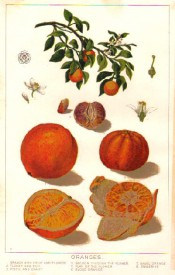 The figure shows fruiting branch, flower details and 3 varieties of orange, blood, navel and tangerine. Source unknown.
