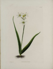 Shown are two lance-shaped basal leaves and stem with cup-shaped white flowers.  Loddiges Botanical Cabinet no.1802, 1832.