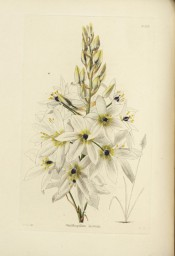 Figured is a flowering shoot with many white, black-centred cup-shaped flowers.  Loddiges Botanical Cabinet no.1159, 1827.