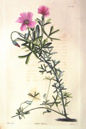 Illustrated ate the bifurcate leaves and rosy-red single flowers.  Loddiges' Botanical Cabinet no.1056, 1826.