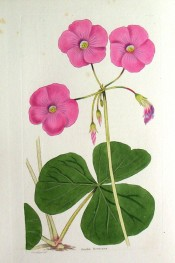Illustrated are the large, fleshy, 3-lobed leaves and the large bright pink flowers.  Loddiges' Botanical Cabinet no.1782, 1833.