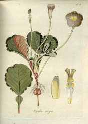 Figured are wavy-edged leaves and single mauve flowers with a yellow centre.  Jacquin Oxalis t.23, 1794.