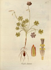 Figured are bulb, roots, stem, the trifoliate leaves and purplish flowers in pairs.  Jacquin Oxalis t.7, 1794.