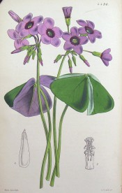 Shown are leaves with 3 leaflets, purple beneath, purple flowers with a deeper centre. Curtis's Botanical Magazine t.4490, 1850.