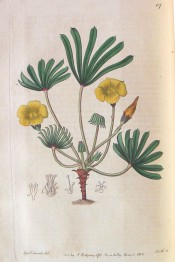 Figured are palmate leaves with up to 12 leaflets and yellow flowers.  Botanical Register f.117, 1816.