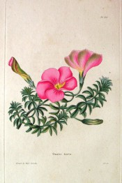 Figured are narrow leaflets crowded around the leaf stem and deep pink flowers.  Loddiges Botanical Cabinet no.213, 1818.