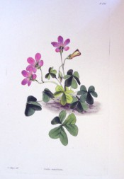 Figured is a low growing plant with trifoliate leaves and purple-pink flowers.  Loddiges Botanical Cabinet no.1780, 1831.