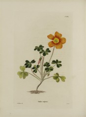 Figured is a low growing plant with trifoliate leaves and copper-coloured flower.  Loddiges Botanical Cabinet no.824, 1824.