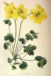 Figured are trifoliate leaves with brown spots and bright yellow flowers.  Loddiges Botanical Cabinet no.1154, 1827.