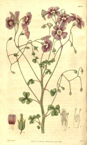 Figured is an erect stem with small trifoliate leaves and mauve-pink flowers.  Curtis's Botanical Magazine t.2830, 1828.