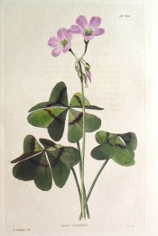 Shown are leaves with 4 leaflets with a brownish line across and purple-pink flowers.  Loddiges Botanical Cabinet no.790, 1824.