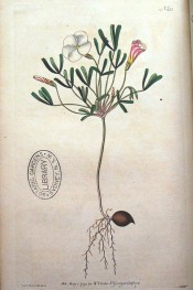Figured are the trifoliate leaves and white flowers showing red barber's pole stripes.  Curtis's Botanical Magazine t.155, 1791.