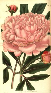 Figured are deeply divided leaves and rose pink very double flower. Curtis's Botanical Magazine t.2888, 1829.