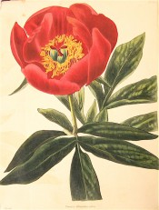 Figured are deeply divided leaves and bright red single flower with prominent stamens. Loddiges Botanical Cabinet no.1075, 1825.