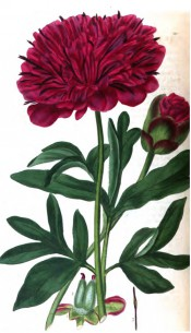 Figured are deeply divided leaves and deep red, very  double flower.  British Flower Garden vol.1, t.19, 1823-25.