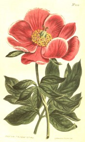 Depicted are deeply cut leaves and single, bowl-shaped, glistening, deep red flowers.  Curtis's Botanical Magazine t.1050, 1807.