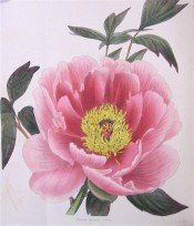 Figured are deeply cut leaves and cup-shaped deep pink, semi-double flower.  Loddiges Botanical Cabinet no.1035, 1825.