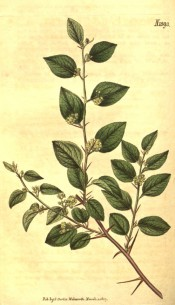 Figured are spiny stems, ovate leaves and axillary clusters of small yellow flowers.  Curtis's Botanical Magazine t.1893, 1817.