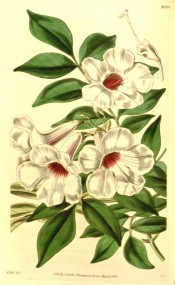 Shown is a twining climber with pinnate leaves and white, red flushed trumpet flowers. Curtis's Botanical Magazine t.4004, 1843.