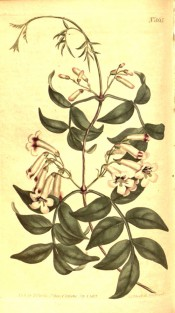 Shown is a climber with pinnate leaves and narrow trumpet-shaped red and white flowers. Curtis's Botanical Magazine t.865, 1805.