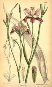 Shown is flowering stem, the flowers  brown-purple, the standards whitish.  Curtis's Botanical Magazine t.6428, 1879.