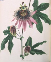Figured are lobed leaves and mauve flowers with prominent, purple corona filaments.  Loddiges Botanical Cabinet no.573, 1821.