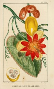 Figured is a heart-shaped leaf, bright red flower and yellow, plum-shaped fruit.  Descourtilz vol.5, pl.350, 1820-29.