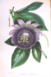 Shown are 3-lobed leaves and greenish-purple flower with purple corolla filaments.  Paxton's Magazine of Botany p.51, 1842.