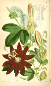 Figured are 3-lobed leaves, green and pink buds and vibrant red passionflowers.  Curtis's Botanical Magazine t.6129, 1874.
