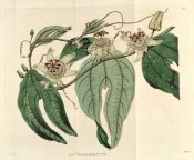 Figured are bilobed, spotted leaves and greenish-white flowers with purple and white corona.  Botanical Register f.432, 1819.