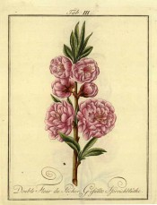Figured is a flowering shoot with young leaves and bright pink very double flowers. Pomona Franconica vol.2, peaches t.3, 1801.