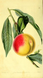 Figured is a shoot with lance-shaped leaves, and round, yellow and red peach. Pomological Magazine t.30, 1828.