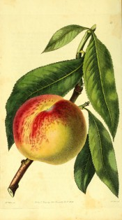 Figured are leaves and a round peach with yellow skin, stained and blotched with red. Pomological Magazine t.15, 1828.