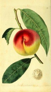 Figured is a shoot with lance-shaped leaves, and round, yellow and red peach. Pomological Magazine t.23, 1828.