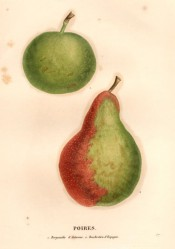 Figured are 2 pears, one small and round the other pyriform and red on one side. Saint-Hilaire pl.57, 1828.