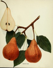 Shown are 2 pears, pyriform shape, skin yellow covered with cinnamon russet + a pear in section. Pears of New York p.133, 1921.