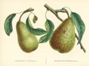 The figure shows 2 pears with stem and leaves, both green heavily marked with russet. Album de Pomologie  vol.2, pl.13, 1849.