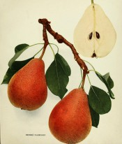 Figured are 2 pyriform pears, skin yellow, flushed with red and heavily speckled with russet. Pears of New York p.132, 1921.