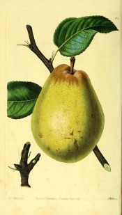 Figured is a turbinate pear, skin pale green faintly dotted with russet. Pomological Magazine t.83, 1829.